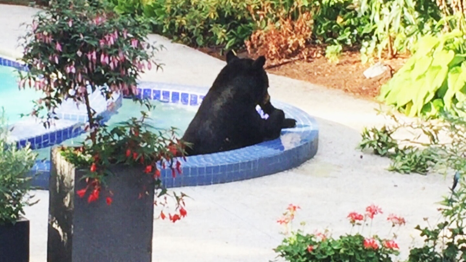 A bear in British Columbia relaxes in the swimming pool of North Vancouver resident, Tony Diering on Monday, Aug. 17, 2015.