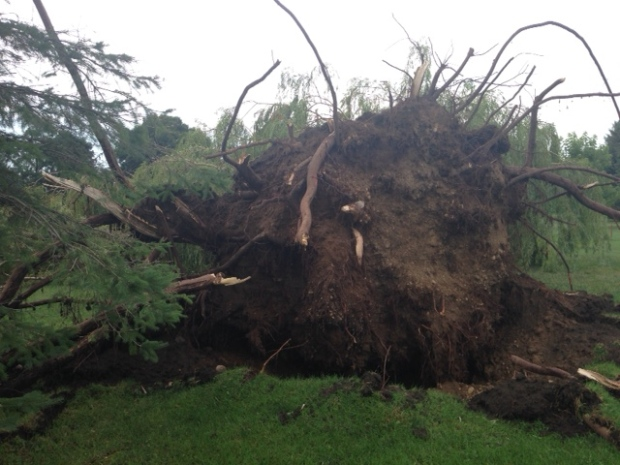 huge willow tree uprooted after storm blows through. Black Bedroom Furniture Sets. Home Design Ideas