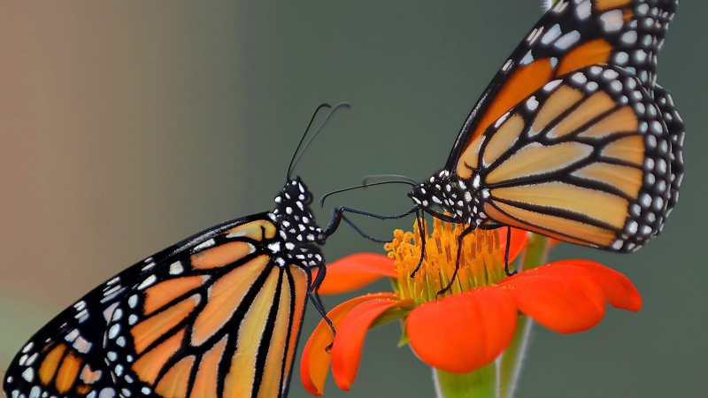 A pair of monarch butterflies, hatched just hours earlier, feed on a flower at ButterflyWorkx butterfly farm in Dunnellon, Fla., on Friday, June 12, 2015. (Matthew Beck / The Citris County Chronicle)
