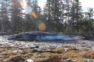 In this June 8, 2015 photo, provided by the University of Alaska Fairbanks Gulf Apex Predator Prey project, a fin whale lies dead on Kodiak Island, Alaska. (Bree Witteveen/University of Alaska Fairbanks)