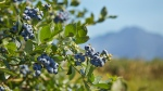 Blueberries are shown in a handout photo from the Canadian Press. (British Columbia Blueberry Council / Tracey Kusiewicz)