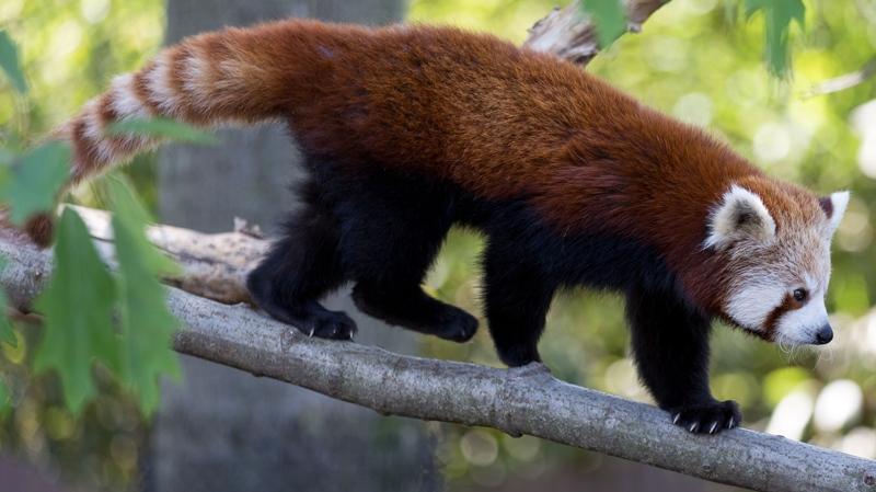 Image of: Wwf Red Panda File Endangered Red Panda Dies Suddenly At Greater Vancouver Zoo Ctv News