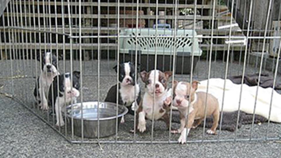 Boston terriers cowichan