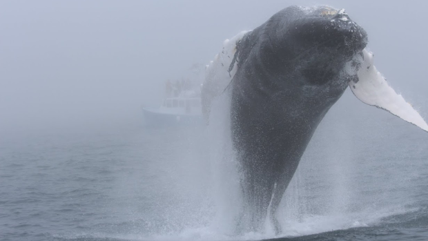 A humpback whale breaches off the coast of Nova Scotia. (Penny Graham of Mariner Cruises)