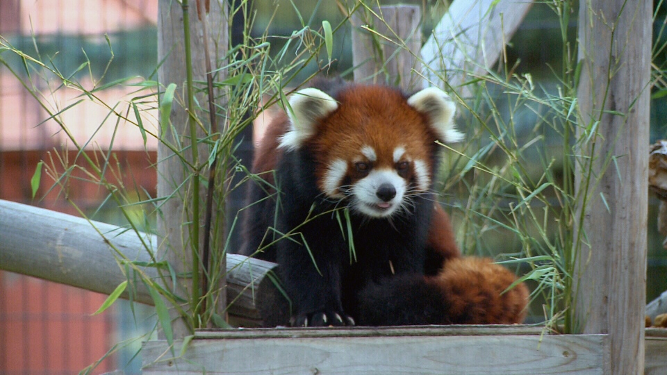 Phoenix, a red panda at the Saskatoon Forestry Farm Park and Zoo, has yet to find a mate since moving to the zoo from Winnipeg in late 2013.