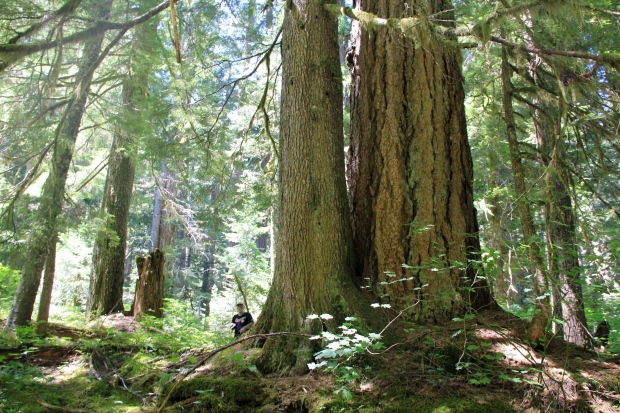 Old-growth trees