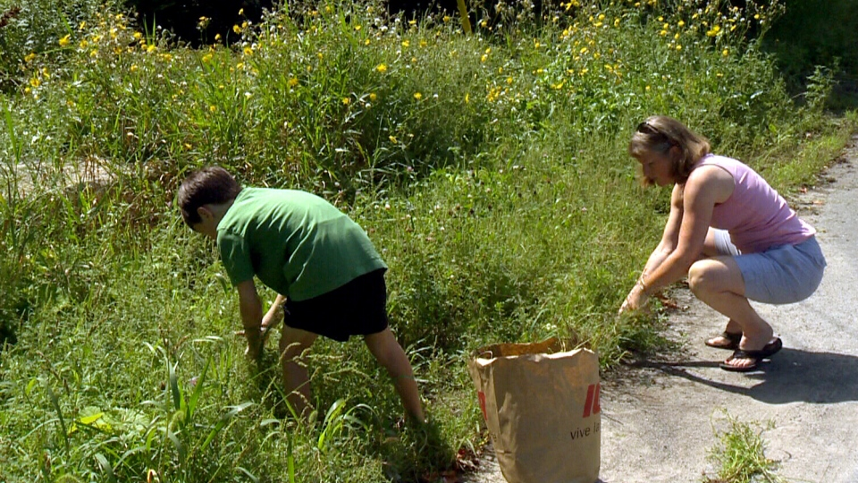 Seven-year-old Kyle Secours and his mom Denise pull ragweed in Hudson, Que., where there is a bounty on the weed.