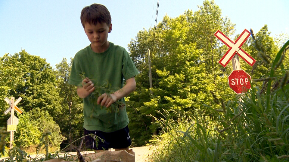 Seven-year-old Kyle Secours pulls ragweed in Hudson, Que., where there is a bounty on the weed.