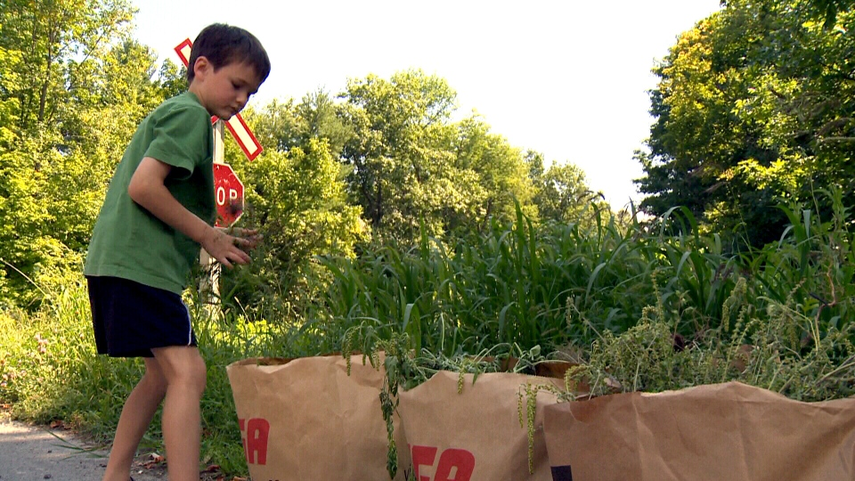 Seven-year-old Kyle Secours pulls ragweed