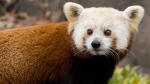 Shama, a female red panda, is seen in an undated file photo provided by the Smithsonian's National Zoo. (AP/Smithsonian's National Zoo)