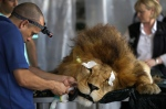 In this Friday, Feb. 20, 2015 photo, a former circus lion named 'King' lies sedated as a veterinarian performs dental surgery, inside a temporary refuge for the lion on the outskirts of Lima, Peru. (AP / Martin Mejia)