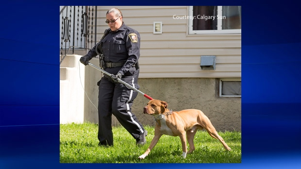 A dog is removed from a home in Ranchlands after a child was injured in a Tuesday morning attack (courtesy: Calgary Sun)