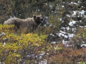 A grizzly bear looks up from foraging on Monday, Aug. 31, 2015, in Alaska's Denali National Park and Preserve. (AP / Becky Bohrer)