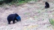 CTV Vancouver: Blue-faced bear spotted