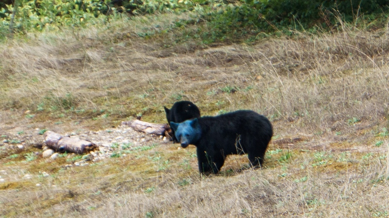 Aaron Smith was driving past Silvermere Lake in Mission, B.C., when he noticed the blue bear and her cubs. (Aaron Smith)