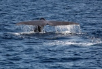 On a clear warm sunny day in Southern California, a blue whale dives and shows it's fluke in front of the Sea Breeze Cruises flagship the Triumphant during a whale watching trip on the Pacific Ocean from Long Beach, Calif., on Sunday, July 20, 2014. (AP/Nick Ut)