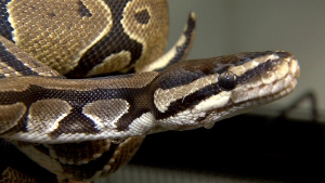 A ball python is seen in this undated file photo