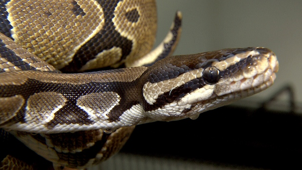 Python lost in the Hautes-Plaines district of Hull