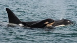 A new orca whale calf is seen near Sooke, B.C., on Monday, September 7, 2015. (HO - Center for Whale Research, Dave Ellifrit / THE CANADIAN PRESS)