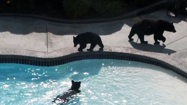 Playful bear cubs cool down in b c man 39 s pool ctv news for O leary swimming pool edmonton