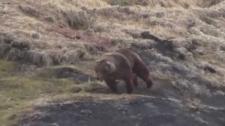 Disturbing bear hunt video