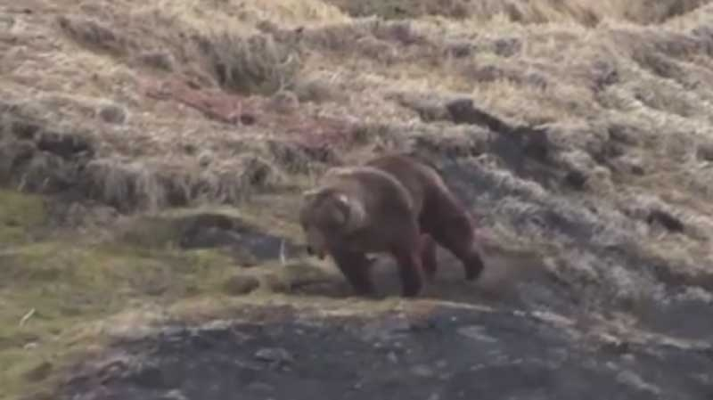 The Wildlife Defence League has shared a disturbing video of a grizzly bear hunt to drum up support for its anti-trophy hunting campaign. (Facebook)
