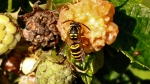 A yellowjacket in New Paltz, N.Y., on Aug. 23, 2011. (Lee Reich / AP)