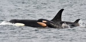 In this photo taken Monday, March 30, 2015, and provided by the Pacific Whale Watch Association, a newborn orca whale swims alongside an adult whale, believed to be the mother, in the Salish Sea waters off Galiano Island, British Columbia. (Maya's Legacy Whale Watching, Jeanne Hyde/AP Photo)