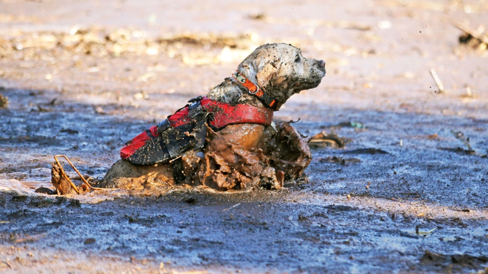 A cadaver dog swims through mud and debris during a search for the remaining victim of a flash flood Thursday, Sept. 17, 2015, in Hildale, Utah. (AP / Rick Bowmer)