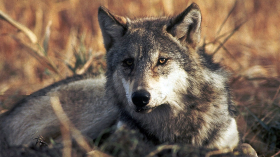 This undated file image provided by the U.S. Fish and Wildlife Service shows a grey wolf. (U.S. fish and Wildlife Service)