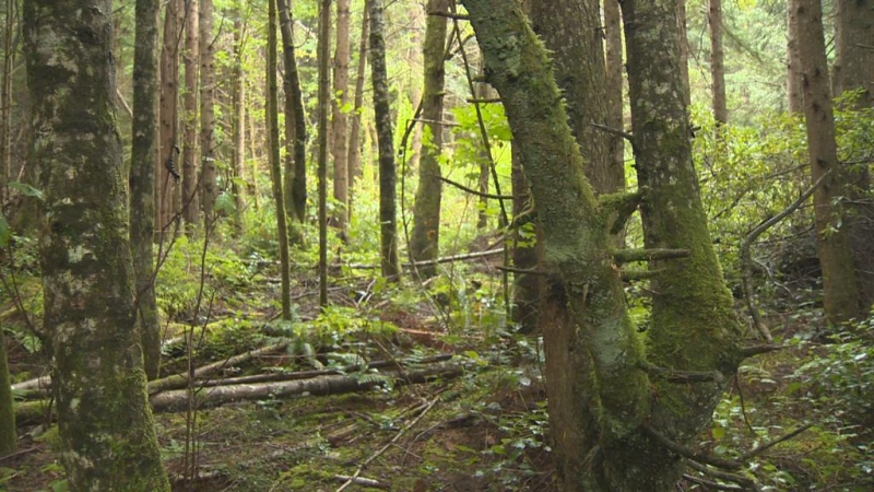 The forest surrounding Alert Bay, B.C. on Cormorant Island is shown on Wednesday, Sept. 23, 2015. Locals say loud howling noises coming from the forest at night could be those of the mythical sasquatch. (CTV Vancouver Island)