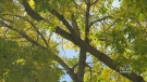 CTV Edmonton: Old elm trees causing problems