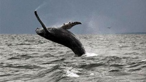 In this Sept. 12, 2015 photo provided by Dan Lent, a humpback whale breaches the water in Long Island Sound off the coast of Stamford, Conn.  (Dan Lent via AP)