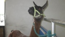 Looking to adopt a horse? How about a llama? The BC SPCA's cruelty investigations department held an adoptathon day on Sept. 26, 2015 for horses, llamas, ducks, chickens, geese, a donkey and a goat, seized in recent animal cruelty investigations. (BC SPCA).