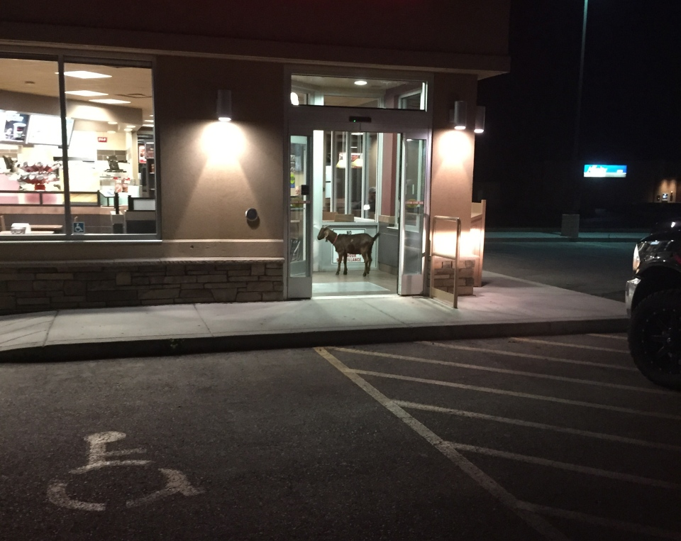 "RCMP in Warman, Sask., were forced to arrest a ""stubborn"" goat for refusing to leave a Tim Hortons on Sunday morning."