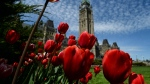 Tulips bloom on Parliament Hill in Ottawa on May 14, 2015. (Sean Kilpatrick / THE CANADIAN PRESS)