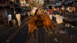 A cow in the middle of a road in New Delhi, India, on Sept. 30, 2015. (AP / Bernat Armangue)