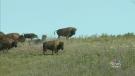 CTV Regina: Bison roam Standing Buffalo