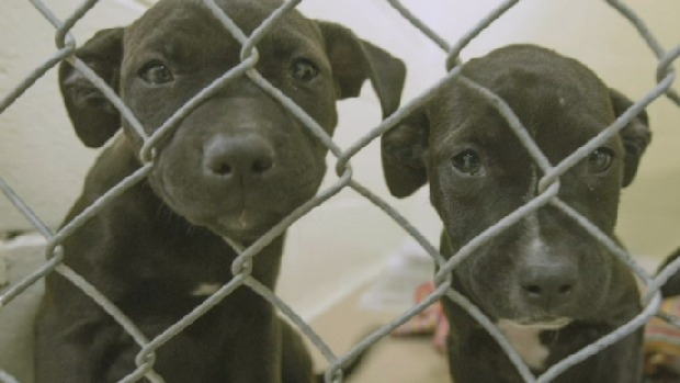 Two of the American Staffordshire Terriers seized from North Preston, N.S. on Saturday.