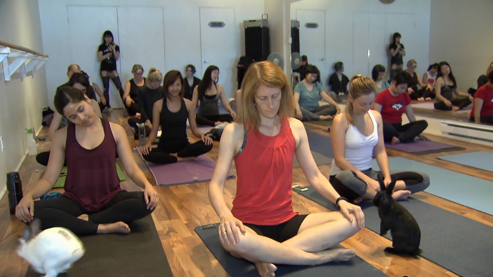 This bunny yoga fundraiser class took place in Vancouver on Oct. 5, 2015. (CTV News).