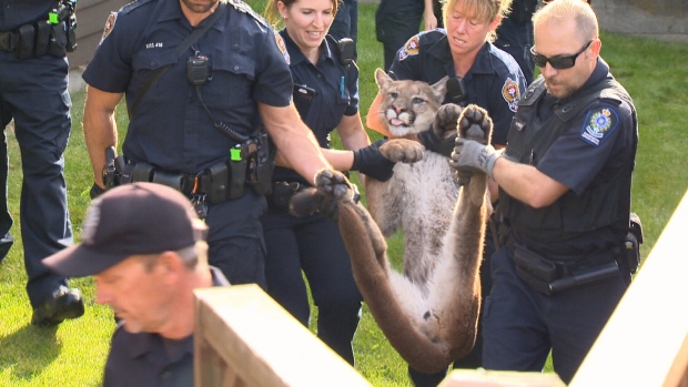 A cougar spotted prowling through an urban Victoria neighbourhood led police and reporters on a wild chase Monday morning. The big cat was eventually tranquilized, and it's believed it will be relocated. Sept. 5, 2015. (CTV Vancouver Island)