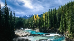 Golden Larches stand in Yoho National Park (Parks Canada)