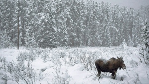 A moose makes its way through a snowy field near Lake Louise, Alta. on November 23, 2012. (Jonathan Hayward/THE CANADIAN PRESS)