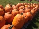 Pumpkins in Essex County, on Thursday, Oct. 8, 2015. (Rich Garton / CTV Windsor)