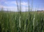 This photo taken Wednesday, Oct. 10, 2012 shows a half hectare wheat farm near Debre Zeit, in Ethiopia's Amhara region. (Kirubel Tadesse Ayetenfisu/AP Photo)