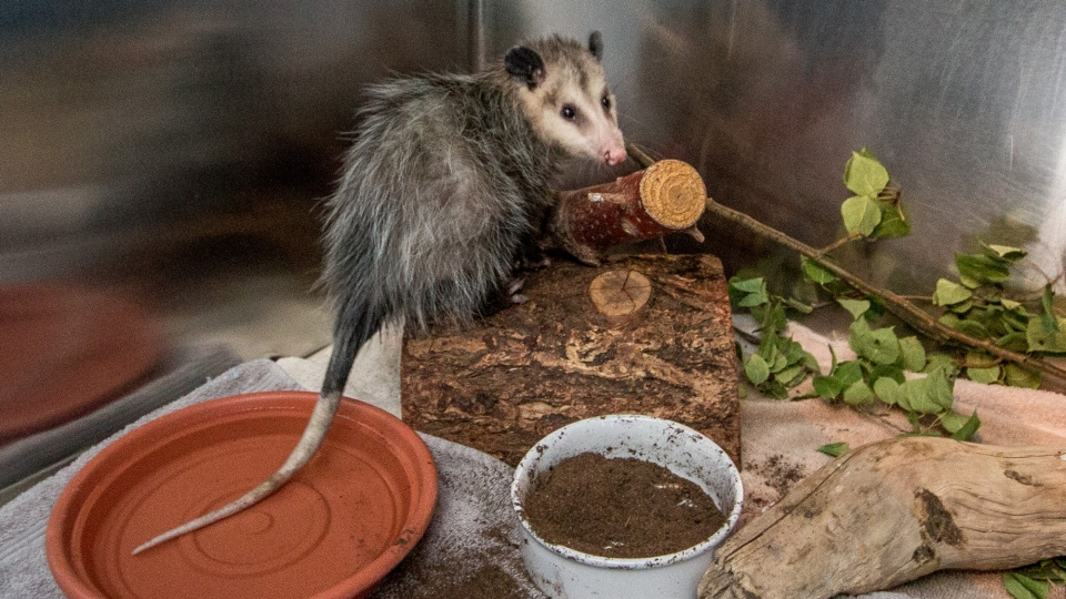 An opossum is shown in Calgary before being shipped back to Brampton. (Jennifer Kaiser)