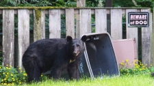 Residents of a Maple Ridge community are pushing for change in how the B.C. Conservation Officer Service responds to bear sightings. (Becky Bohrer/THE CANADIAN PRESS/AP Photo)
