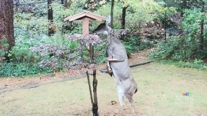 Deer hops up on hind legs to feast on bird feeder