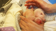 Two one-day-old giant pandas