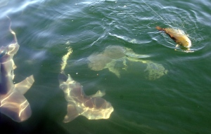 In this Aug 31, 2006 file photo, a school of 250 to 300 pound bull sharks close in a redfish being caught in the Gulf of Mexico out of Sabine Pass near Port Arthur, Texas. (Pete Churton/AP Photo/The Beaumont Enterprise)